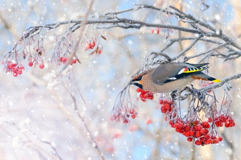 El encerar del pájaro fotografía de archivo libre de regalías