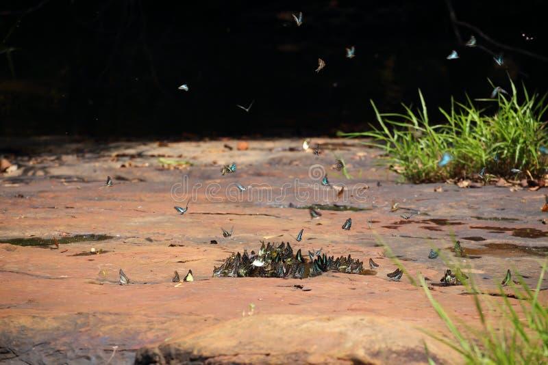 El enjambre de las mariposas come los minerales imágenes de archivo libres de regalías