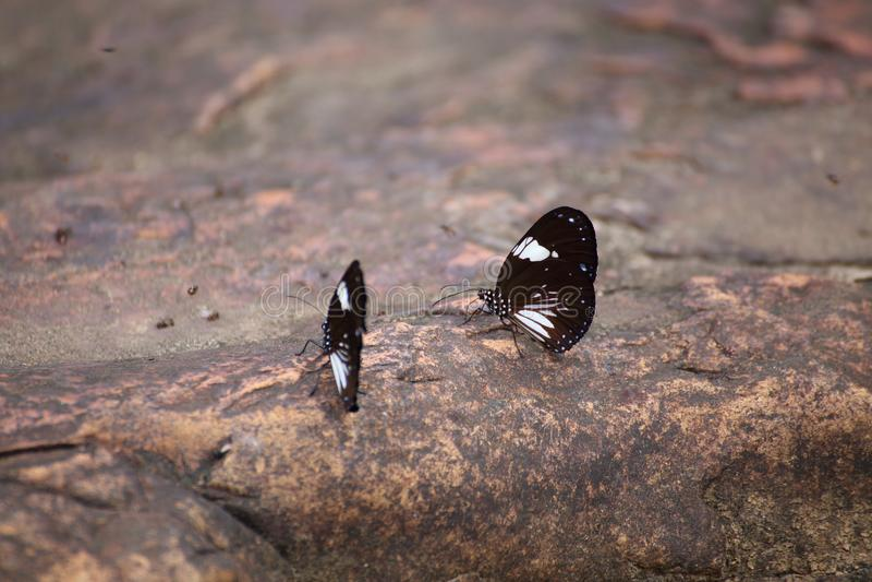 El enjambre de las mariposas come los minerales imagen de archivo