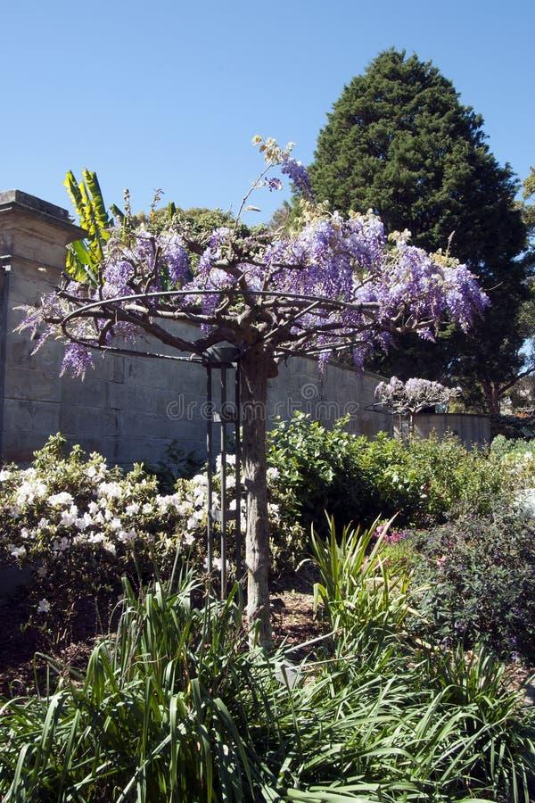El enrejado de florecimiento de la glicinia rueda adentro el jardín fotografía de archivo libre de regalías