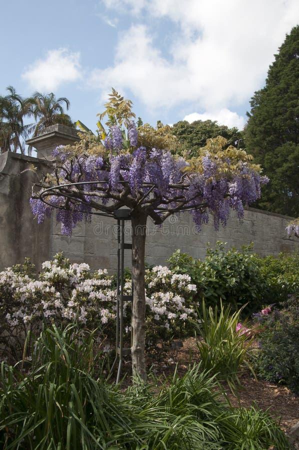 El enrejado de florecimiento de la glicinia rueda adentro el jardín imágenes de archivo libres de regalías