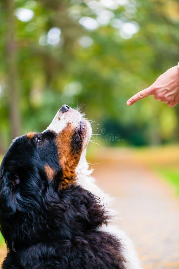 El entrenamiento de la mujer con el perro sienta comando foto de archivo libre de regalías