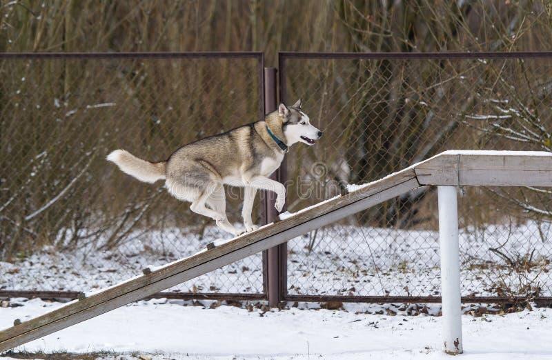 El entrenamiento del husky siberiano y de la obediencia del perro en invierno imágenes de archivo libres de regalías