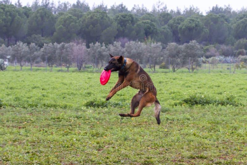 El entrenamiento del perro coge el disco volador con su boca imagenes de archivo