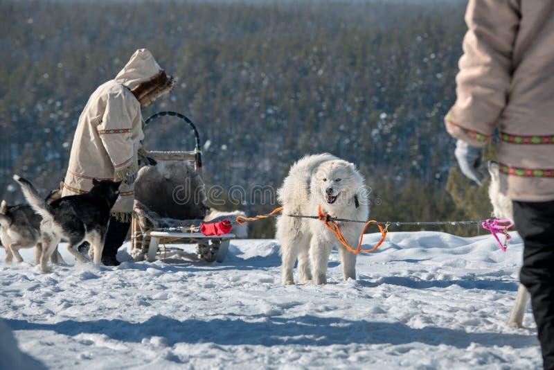 El equipo del perro de trineo est? esperando las razas, Yakutia fotos de archivo libres de regalías