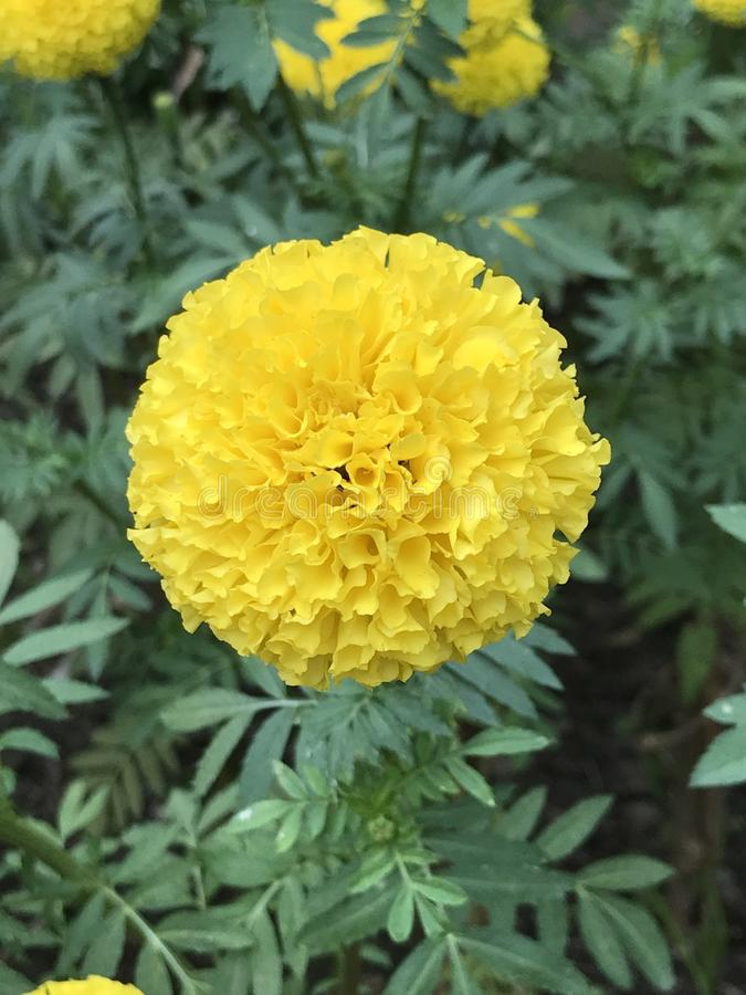 El erecta de Tagetes o la maravilla mexicana del maravilla o africana o Daoruang florece fotografía de archivo