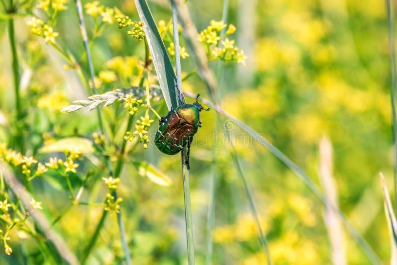 El escarabajo brillante verde se sienta en una cuchilla de la hierba en un campo foto de archivo libre de regalías
