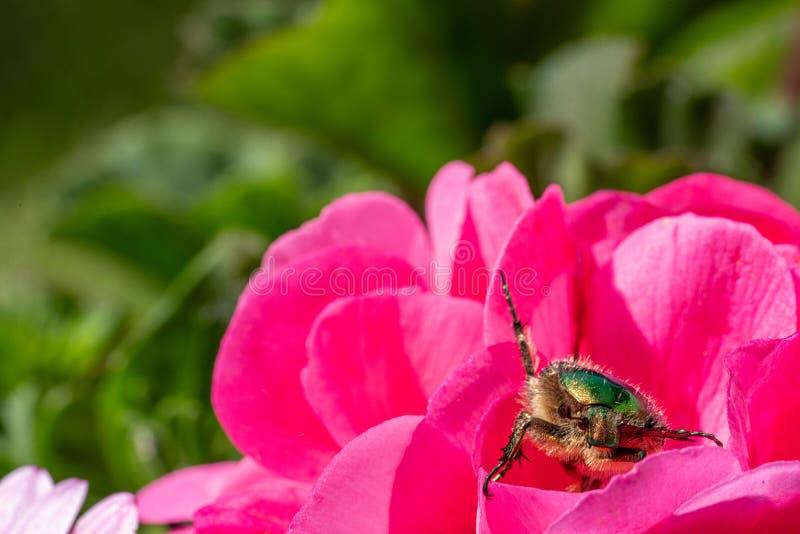 el escarabajo color de rosa oro-coloreado se sienta en una flor roja de una flor en la sol imagenes de archivo