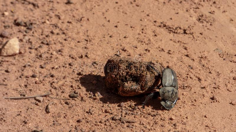 El escarabajo de estiércol rueda las heces foto de archivo