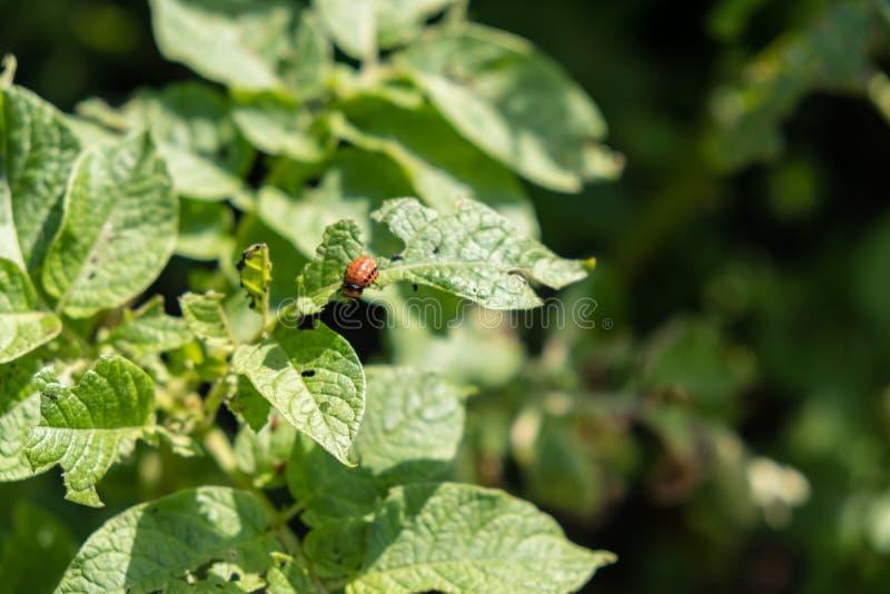 El escarabajo de la patata come las hojas de la patata jovenes Los parásitos destruyen una cosecha en campo Parásitos en fauna y  foto de archivo libre de regalías