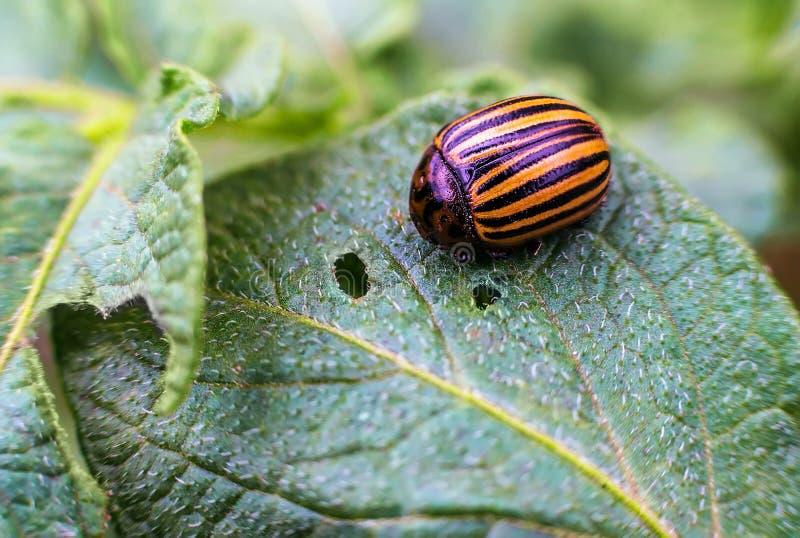 El escarabajo de la patata come las hojas de una patata jovenes fotografía de archivo