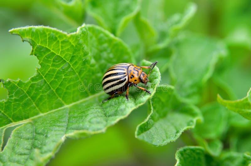 El escarabajo de la patata come las hojas de una patata jovenes Los parásitos destruyen una cosecha en el campo foto de archivo