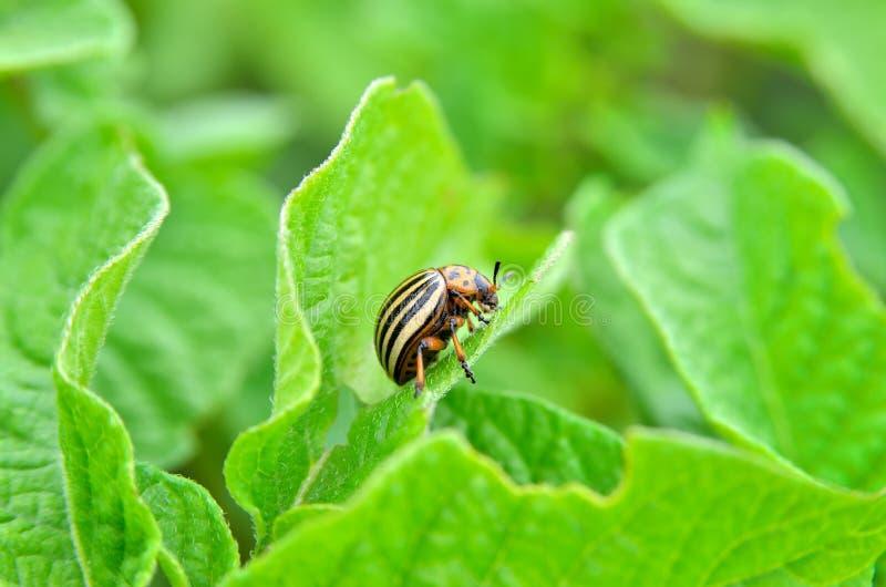 El escarabajo de la patata come las hojas de una patata jovenes Los parásitos destruyen una cosecha en el campo foto de archivo libre de regalías
