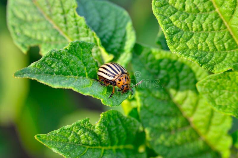 El escarabajo de la patata come las hojas de una patata jovenes Los par?sitos destruyen una cosecha en el campo fotografía de archivo libre de regalías
