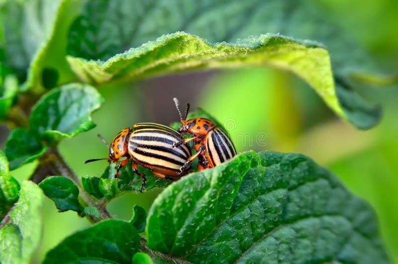 El escarabajo de la patata come las hojas de una patata jovenes Los par?sitos destruyen una cosecha en el campo imagen de archivo