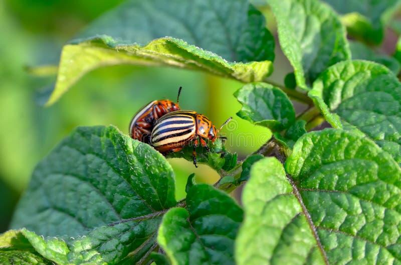 El escarabajo de la patata come las hojas de una patata jovenes Los par?sitos destruyen una cosecha en el campo foto de archivo libre de regalías