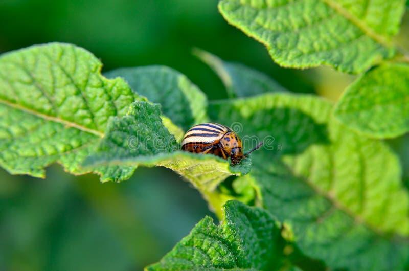 El escarabajo de la patata come las hojas de una patata jovenes Los par?sitos destruyen una cosecha en el campo imágenes de archivo libres de regalías