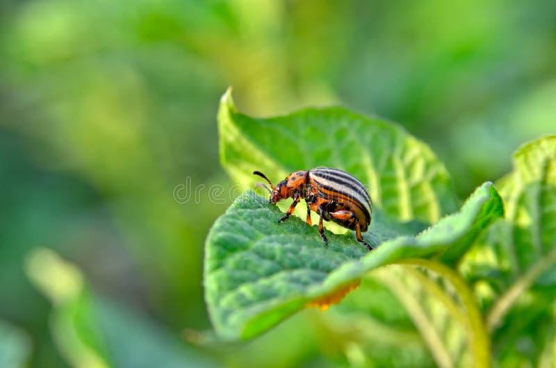 El escarabajo de la patata come las hojas de una patata jovenes Los par?sitos destruyen una cosecha en el campo fotografía de archivo