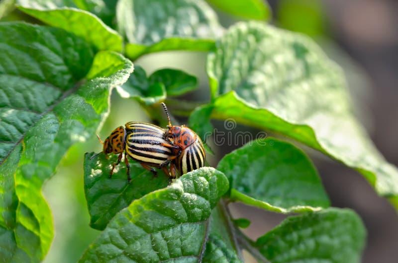 El escarabajo de la patata come las hojas de una patata jovenes Los par?sitos destruyen una cosecha en el campo fotos de archivo