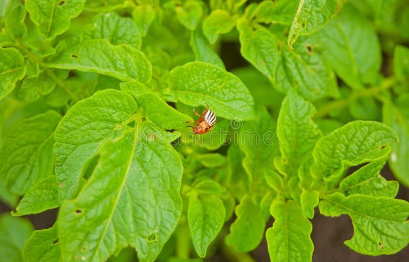 El escarabajo de la patata come las hojas de una patata jovenes Par?sitos en fauna y agricultura imagenes de archivo