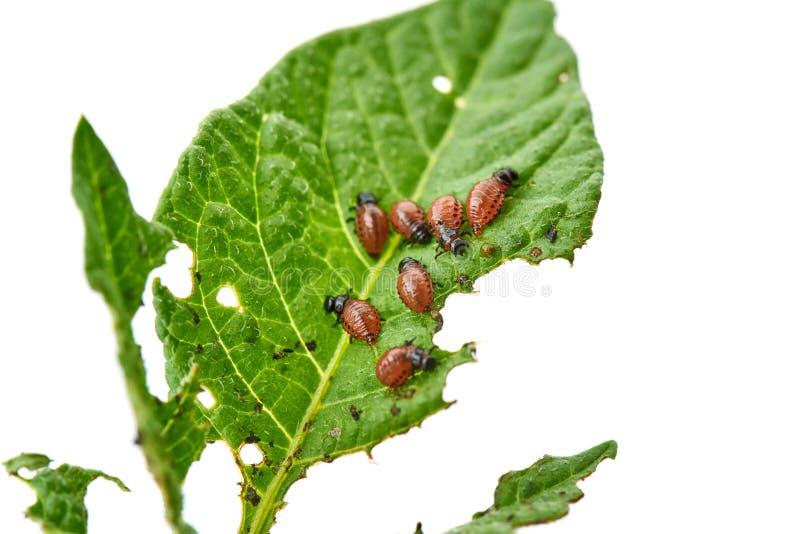El escarabajo de la patata joven come las hojas de la patata - aisladas en el fondo blanco foto de archivo