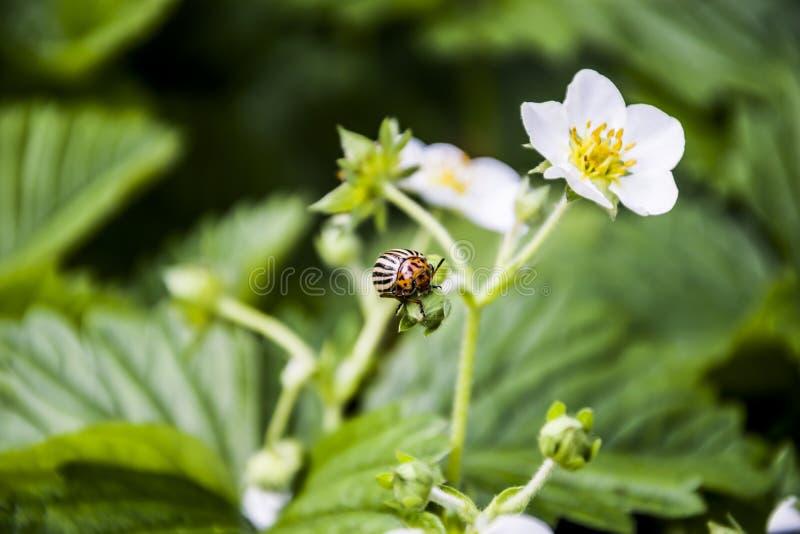 El escarabajo de patata de Colorado come las flores de la fresa foto de archivo libre de regalías