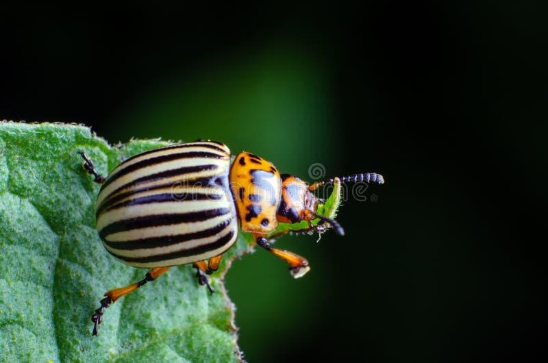El escarabajo de patata de Colorado come las hojas verdes de la patata imagen de archivo