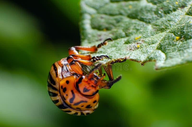 El escarabajo de patata de Colorado come las hojas verdes de la patata fotos de archivo
