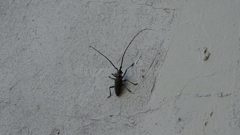 El escarabajo del Capricornio o un leñador imagenes de archivo