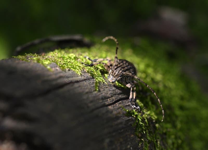 El escarabajo en el tronco imagen de archivo