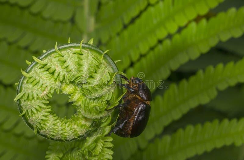 El escarabajo está subiendo en una hoja del helecho imagenes de archivo