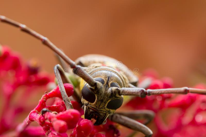 El escarabajo hermoso ex?tico Palo Verde del fonolocalizador de bocinas grandes en la flor del guineensis de Leea imágenes de archivo libres de regalías