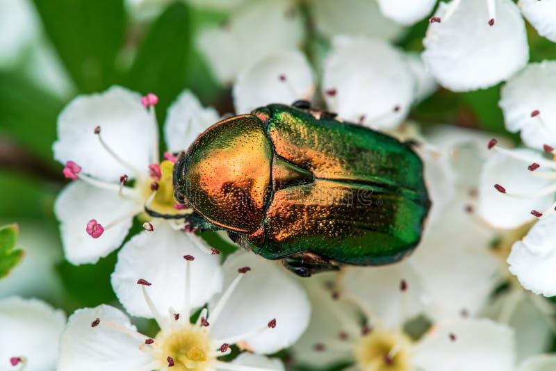 El escarabajo hermoso verde se sienta en una flor blanca en un jardín del verano fotos de archivo