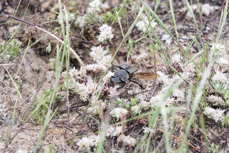 El escarabajo rueda el esti?rcol en el campo fotos de archivo libres de regalías
