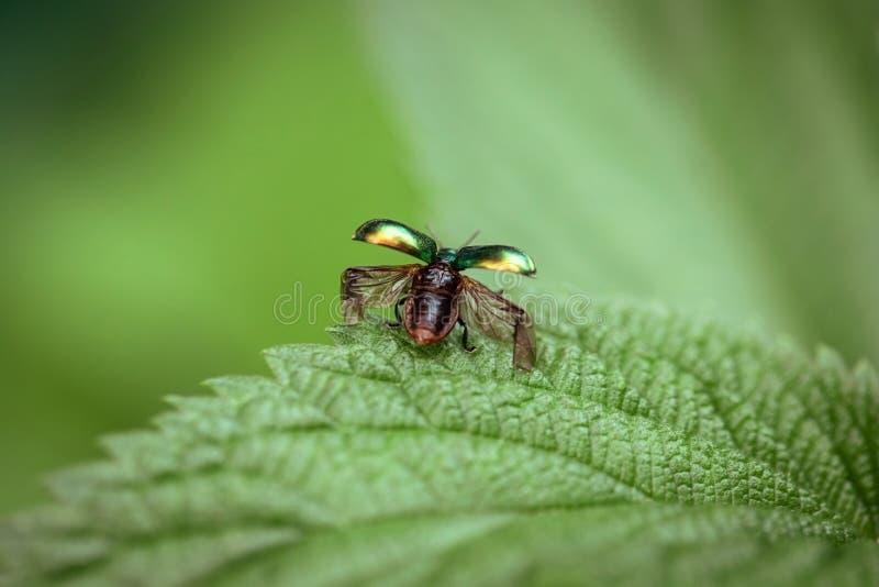 El escarabajo saca el primer El escarabajo con las alas abiertas está listo para volar Fastuosa de Chrysolina en un fondo verde e fotos de archivo