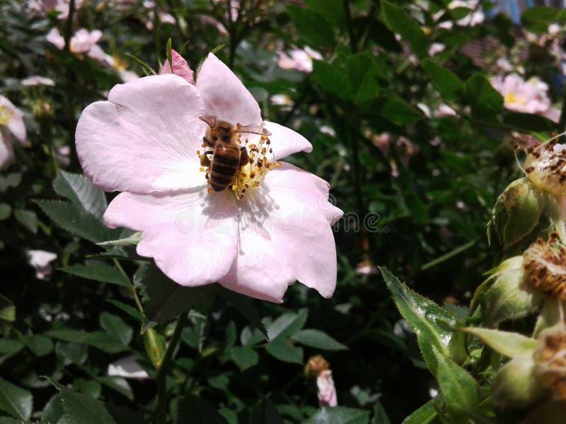 El escaramujo es una flor encantadora para las abejas Las flores delicadas del escaramujo son la cocina para la abeja fotografía de archivo libre de regalías