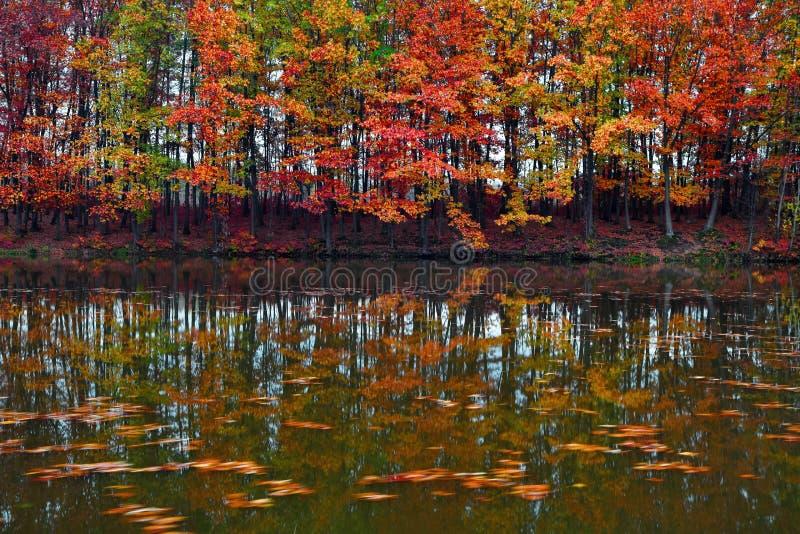 El escarlata hermoso, amarillo, los árboles anaranjados en la costa del lago refleja en el agua adonde las hojas están flotando imagenes de archivo