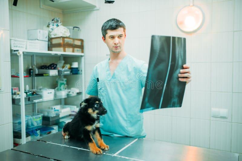 El especialista veterinario mira la radiografía del perro foto de archivo