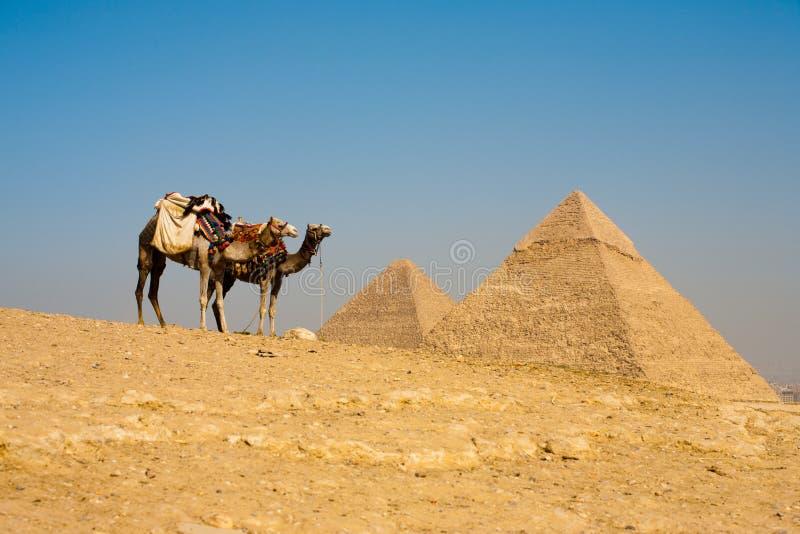 El esperar de los camellos de Cheops Khafre de las pirámides fotos de archivo libres de regalías