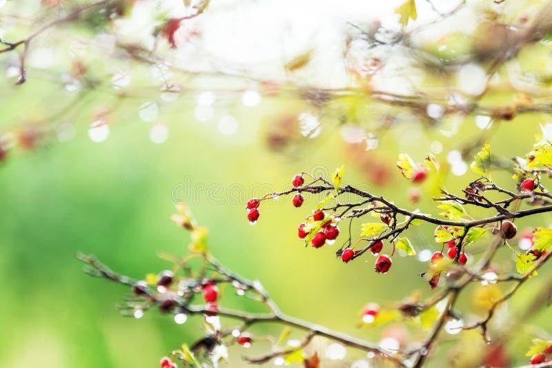 El espino con la baya roja en la rama, agua de lluvia del otoño cae fotografía de archivo libre de regalías