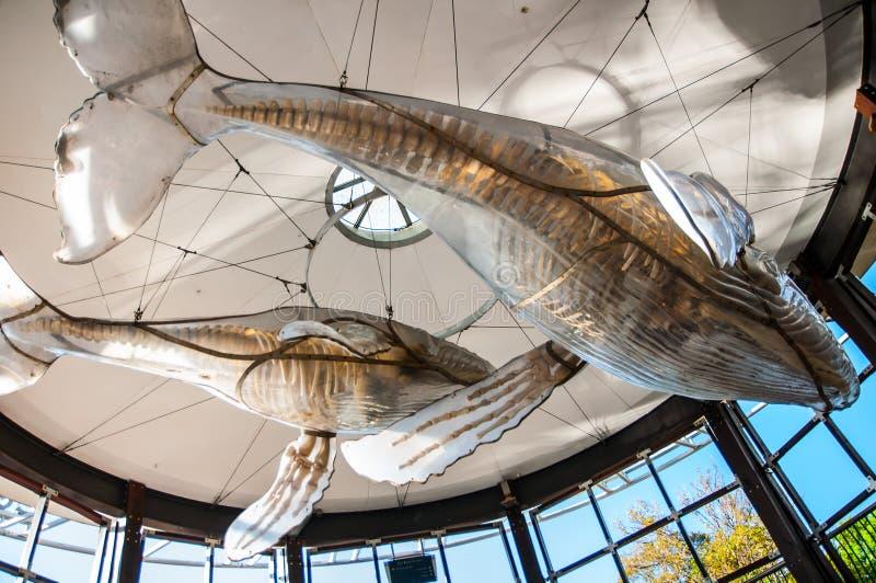 El esqueleto de la ballena en la cubierta plástica blanca está colgando como decoración en Darling Harbour, Sydney, Australia foto de archivo libre de regalías