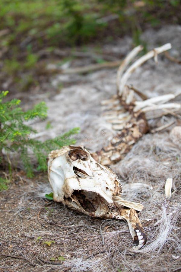 El esqueleto de una oveja del Big Horn en el bosque en Rocky Mountain National Park fotos de archivo libres de regalías
