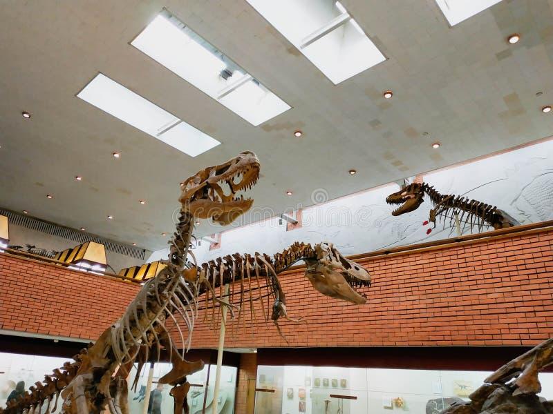 El esqueleto del dinosaurio vertical en museo de la paleontología fotos de archivo libres de regalías