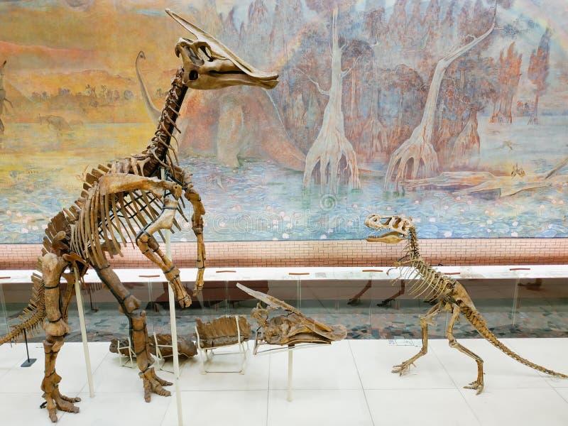 El esqueleto del dinosaurio vertical en museo de la paleontología foto de archivo