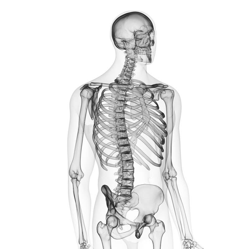 El esqueleto humano ilustración del vector