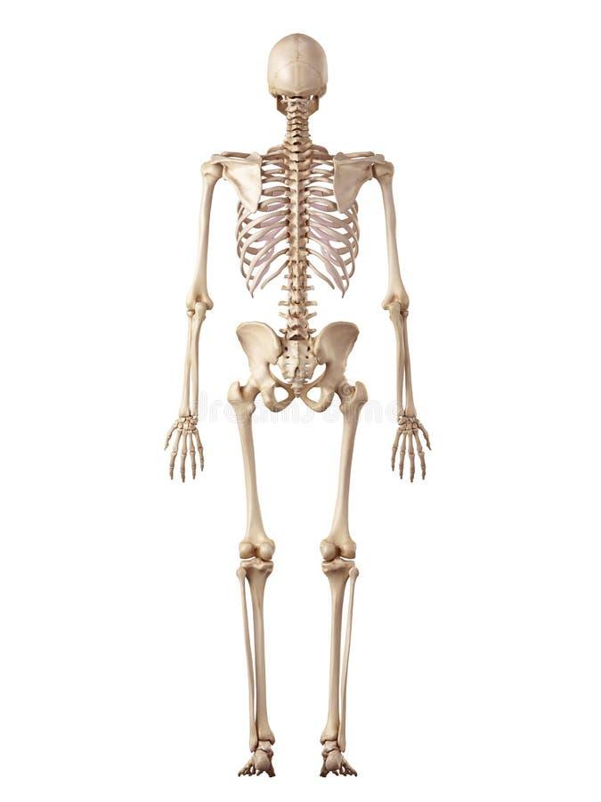 El esqueleto humano stock de ilustración. Ilustración de blanco ...