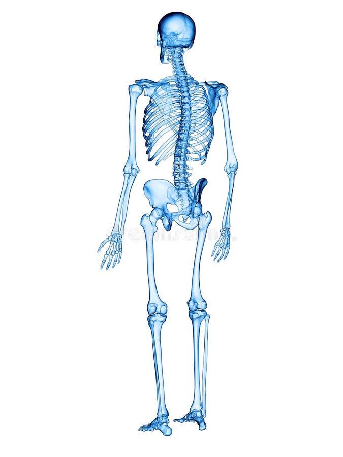 El esqueleto humano stock de ilustración