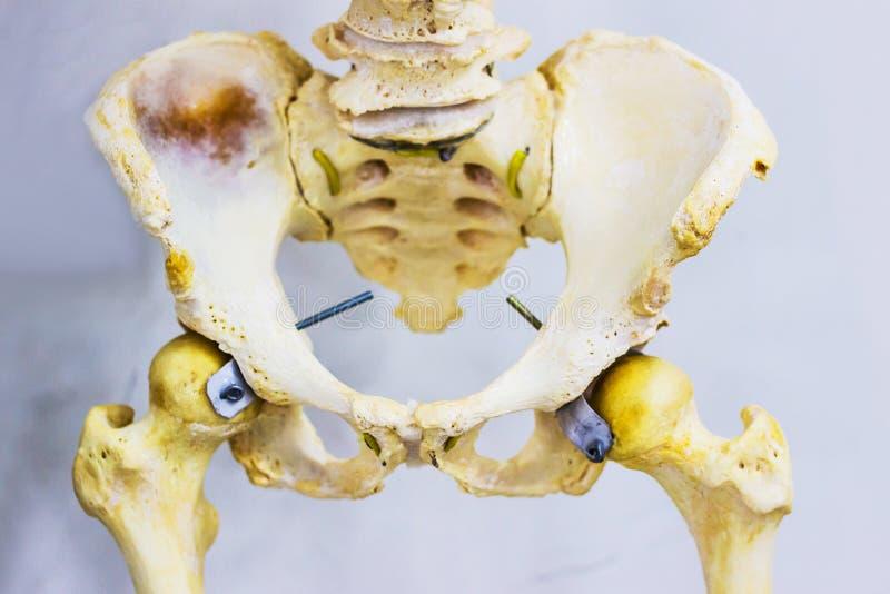 El esqueleto humano de la anatomía articulada de la junta de cadera que muestra el sacro, el hueso de la cadera, fémur y baja la  foto de archivo libre de regalías
