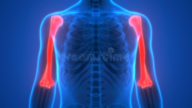El Esqueleto Humano Deshuesa La Anatomía (los Huesos Del Húmero ...