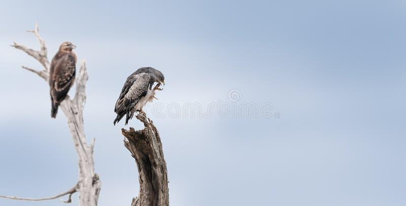 El estar al acecho de los halcones